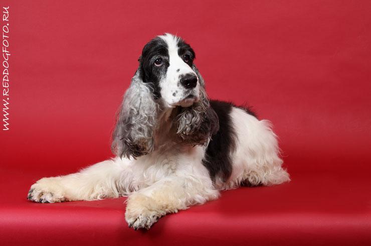 Студийная съемка собак